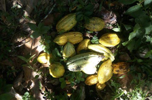 Article : A Mutwanga : la culture du cacao n'est pas encore rentable mais l'espoir demeure.