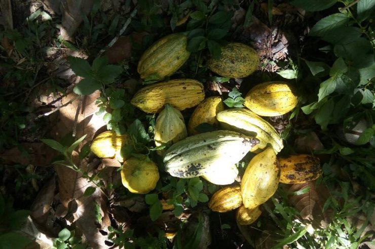 A Mutwanga : la culture du cacao n'est pas encore rentable mais l'espoir demeure.