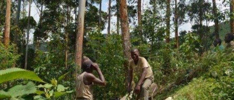 Article : RDC-Bois : l'eucalyptus, une alternative pour la préservation des forêts au Kivu ? (Partie 2)
