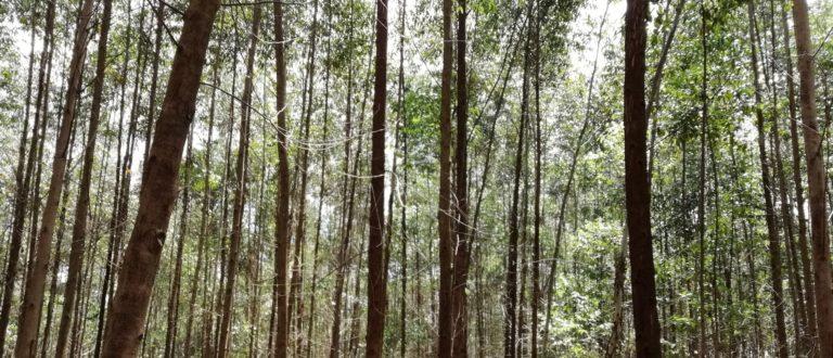 Article : RDC-Bois : l'eucalyptus, une alternative pour la préservation des forêts au Kivu ? Partie I